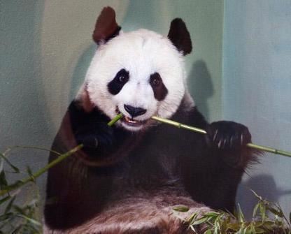 Roslin mention: Scientists are resorting to desperate measures to save the giant panda | BIOSCIENCE NEWS | Scoop.it