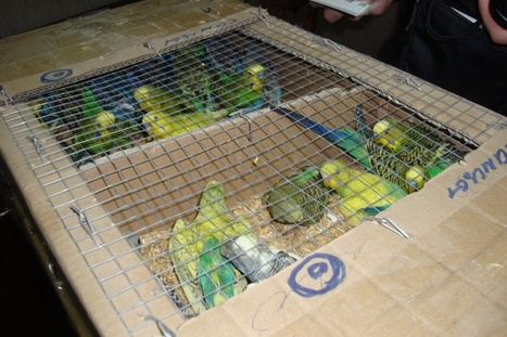 Over 440 parrots smuggled into Belarus | All Things Zygodactyl | Scoop.it