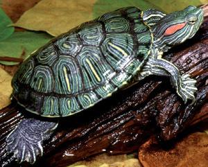 La populares tortuguitas americanas desaparecerán de las tiendas. eldiariomontanes.es | 4ºB Plagas y especies invasoras en Extremadura | Scoop.it