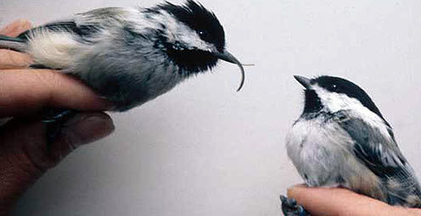 Twisted beaks: Scientists exploring mysterious deformities focus on new virus — Environmental Health News | Sustain Our Earth | Scoop.it