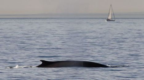 California Man Rescued After Whale Sinks Boat | Indigo Scuba | Scoop.it