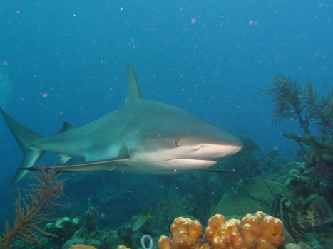 4ft away from 10 foot reef shark at 50ft down | Belize in Social Media | Scoop.it
