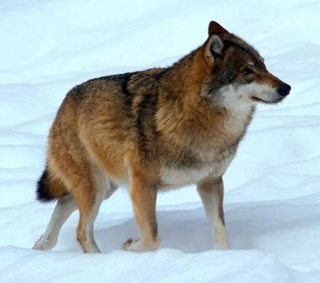 Dog, Wolf, Jackal Genomes Shed More Light on Dog Domestication ... | Smitten Pets | Scoop.it