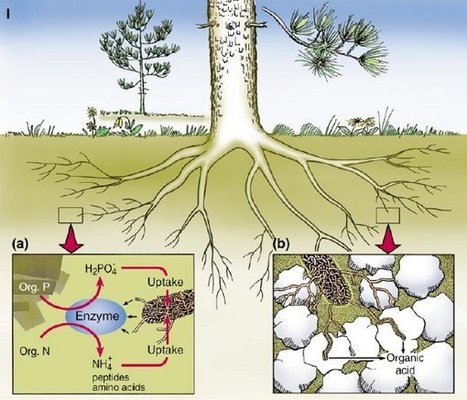 Earth's Internet & Natural Networking: Mycorrhizal Fungi run the Largest Mining Operation in the World | Permaculture - [creatively] re-design our communities, environment and our behavior | Scoop.it