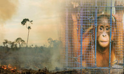 Why is Palm Oil So Bad? | EcoWatch | Scoop.it