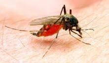 Genomes of malaria-carrying mosquitoes sequenced - Phys.Org | The nature of Science | Scoop.it