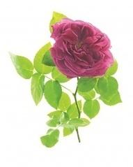 Crash Course in Roses - Martha Stewart Home & Garden | Summer Flowers | Scoop.it