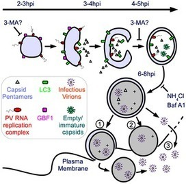 Intracellular Vesicle Acidification Promotes Maturation of Infectious Poliovirus Particles   Virology and Bioinformatics from Virology.ca   Scoop.it