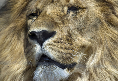 Lion Heads Arrive in Record Numbers as U.S. Considers Crackdown | Trophy Hunting: It's Impact on Wildlife and People | Scoop.it