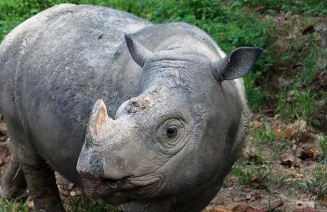 The Sumatran rhino is extinct in the wild in Malaysia | Wildlife Trafficking: Who Does it? Allows it? | Scoop.it