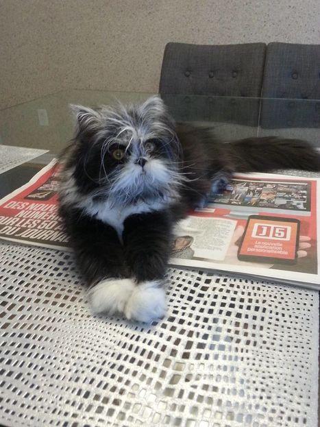 Le nouveau chat «vedette» du web, Atchoum, vient de Repentigny | CaniCatNews-actualité | Scoop.it