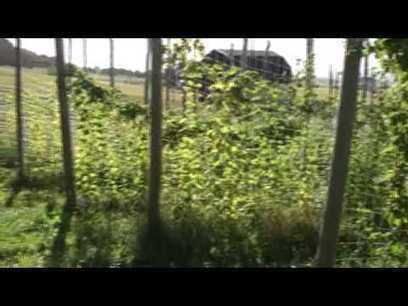Récolte houblon du Québec (sacabane.com) 2009-09-11 09:29:25 | Agriculture urbaine, architecture et urbanisme durable | Scoop.it