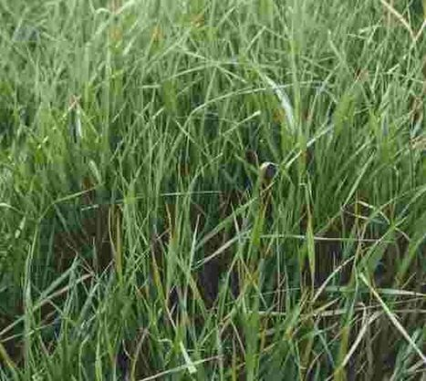 BBSRC/IBERS/Rothamsted mentions: New grasses to catch more rain | BIOSCIENCE NEWS | Scoop.it