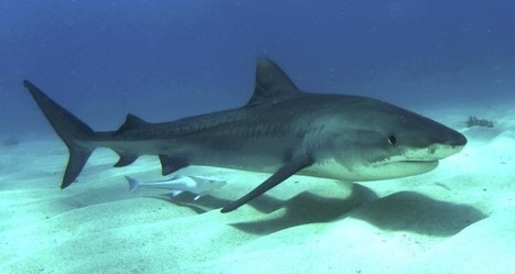 Some Sharks Follow 'Mental Map' To Navigate Seas - Science News - redOrbit | Tiger Sharks | Scoop.it