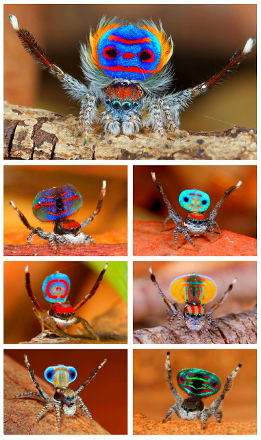 Watch the spectacular mating ritual of the dramatically colored male peacock spiders in south-east Australia | bonds | Scoop.it