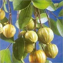 Garcinia Cambogia- it is liked by all health concerned people | Internet | Scoop.it
