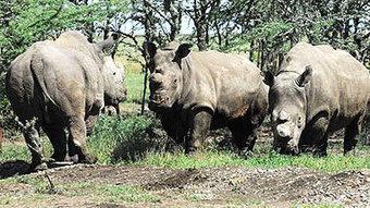 SA, Vietnam partner against rhino poaching | What's Happening to Africa's Rhino? | Scoop.it
