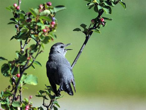 Human-Modified Habitats Shape Bird Mating Patterns - Smithsonian Migratory Bird Center | Conservation Biology, Genetics and Ecology | Scoop.it