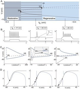 A Balance Equation Determines a Switch in Neuronal Excitability | Social Foraging | Scoop.it