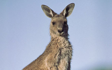 World Wildlife Fund | Adopt a Kangaroo - WWF Gift Center | Kangaroos | Scoop.it