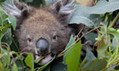 Koalas under threat in Australia - in pictures | The Glory of the Garden | Scoop.it