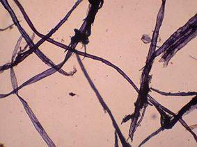 Morphologie, fibre, bois, microscopie, tutoriel, introduction | TPE Bambou | Scoop.it
