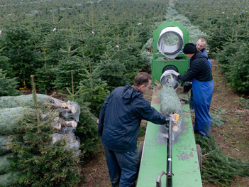 Christmas Trees Replace Forests as Crop   Christmas Trees and More   Scoop.it