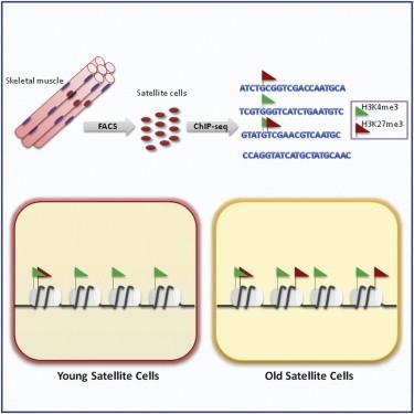 Scientists discern signatures of old versus young stem cells | Stem Cells & Tissue Engineering | Scoop.it