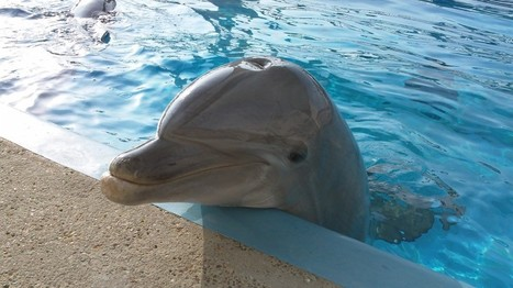 Dolphins can recognize whistles from old tank mates from over 20 years ago, study finds | All about water, the oceans, environmental issues | Scoop.it