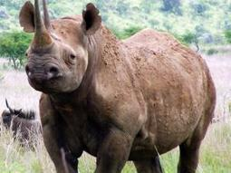 Aircraft! Latest Weapon to boost effort to curb rhino poaching - IOL.co.za | What's Happening to Africa's Rhino? | Scoop.it