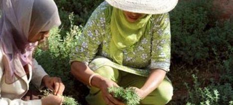 Maroc : Des femmes luttent contre le changement climatique par la culture des plantes médicinales et aromatiques   Biodiversité et économie   Scoop.it