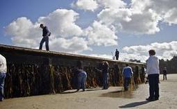 Les débris du tsunami japonais transportent des espèces invasives — 20minutes.fr | Ca m'interpelle... | Scoop.it