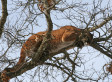 Cougars Spreading Across Midwest, Study Finds | READ WHAT I READ | Scoop.it