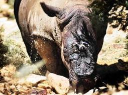 Rhinos hanging on after brutal attack - Western Cape | IOL News | IOL.co.za | What's Happening to Africa's Rhino? | Scoop.it