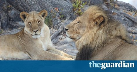 Cecil the lion's legacy: death brings new hope for his grandcubs | Wildlife News | Scoop.it