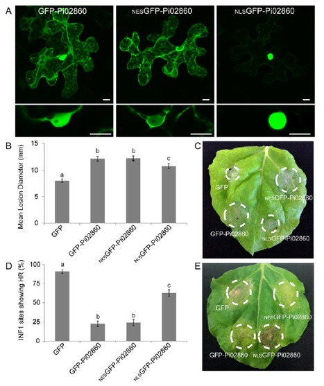 Potato NPH3/RPT2-like protein StNRL1, targeted by a Phytophthora infestans RXLR effector, is a susceptibility factor | plant-microbe interactions | Scoop.it