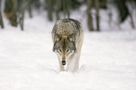 Insight on Wolf (Canis) | Adventure Travel at its Best! | Scoop.it