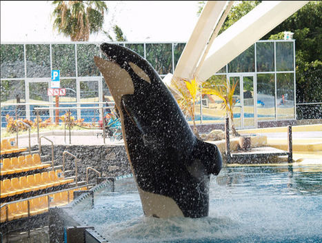 The Killer Whales | Animals in captivity - Zoo, circus, marine park, etc.. | Scoop.it