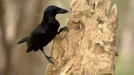 BBSRC funded: Crows' tool time captured on camera | BIOSCIENCE NEWS | Scoop.it