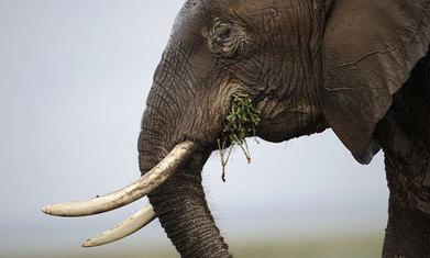 Cites: bid to curb sale of ivory and rhino horn voted down | Wildlife Trafficking: Who Does it? Allows it? | Scoop.it