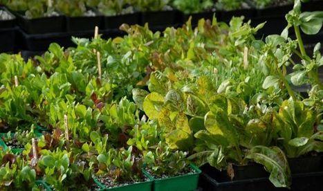 How to Grow Leaf Lettuce | Grown Green Gardens | Scoop.it
