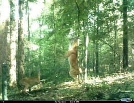 Here we see the majestic Whitetail Deer. Females of the species have been known to spontaneously erupt into joyous performances of the traditional Celtic musical, Riverdance. • /r/Hunting | Nova Scotia Hunting | Scoop.it
