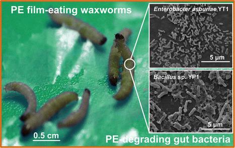 Polyéthylènophagie | EntomoNews | Scoop.it