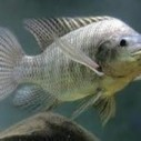Tilapia Production Growing in Panama | Aquaculture Directory | Aquaculture | Scoop.it