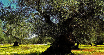 Italy: Where the Olive Oil is the Most Flavorful | Agricultural Biodiversity | Scoop.it