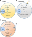 Your neighbours matter – non-autonomous control of apoptosis in development and disease | immunology | Scoop.it
