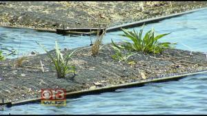 Floating Wetland Project To Improve Water Quality At Inner Harbor | Earth and Enviormental Science | Scoop.it