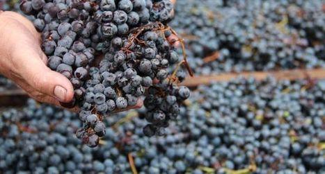 Un vin noir puise ses racines au Moyen Âgeavec des raisins passés au four | Le Vin et + encore | Scoop.it