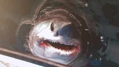 #Endangered #Porbeagle #Sharks still at #risk .... say scientists. Sometimes confused with Gr8White  due to its similar body profile. | Rescue our Ocean's & it's species from Man's Pollution! | Scoop.it