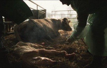 Une vache donne naissance à des triplées en Pyrénées-Atlantiques | Mais n'importe quoi ! | Scoop.it